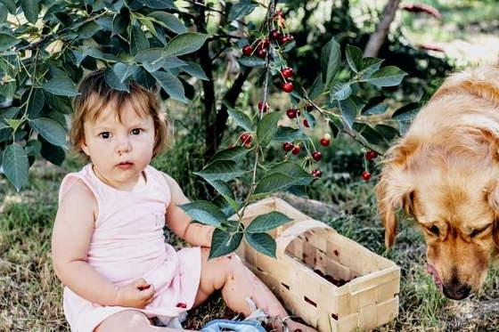 Cseresznye a babáknak