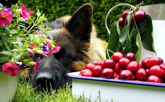 Cseresznye kutyának