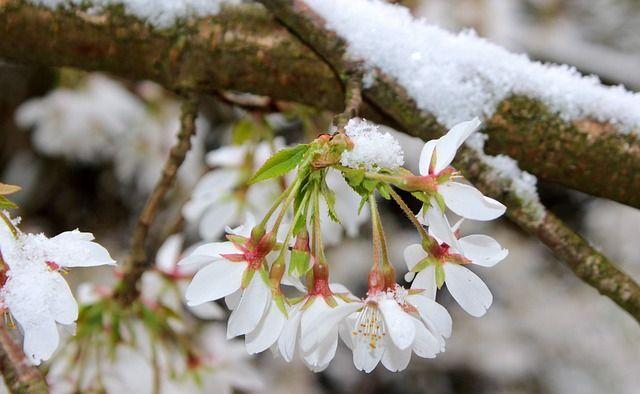 Cseresznyefa betegségei