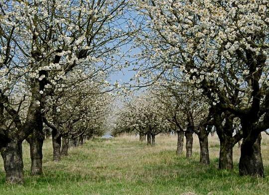 Cseresznyefa metszése