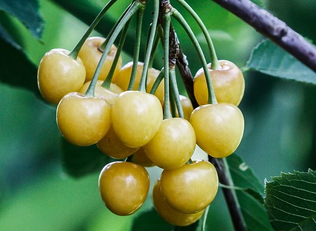 Fehér cseresznye