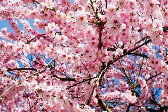 Jedói cseresznye